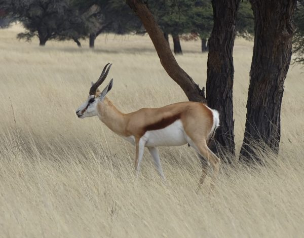 nr 37 _ Bushmanland, Kalahari, Kagalagadi